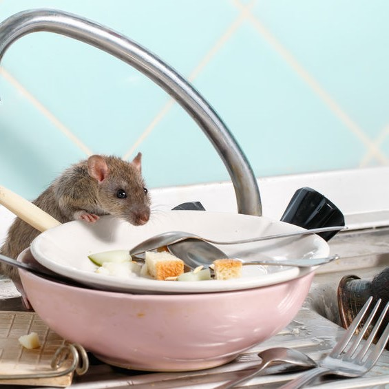 mouse looking at food on dirty plate
